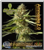 Philosopher Amnesika 2.0 Fem 5 Marijuana Seeds